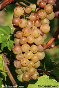 auxerrois grapes in the vineyard alsace france