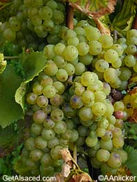 chasselas grapes in the vineyards alsace france
