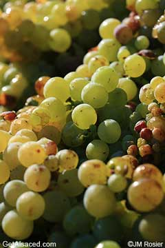 muscat grapes in the vineyard alsace france