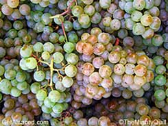 pinot blanc in the vineyard alsace france