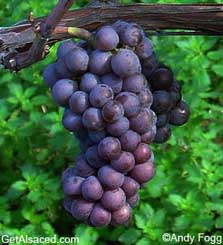 pinot gris grapes in the vineyard alsace france