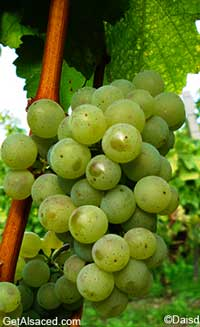 sylvaner grapes in the vineyard alsace france