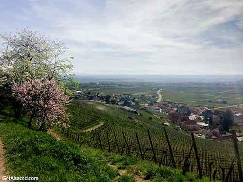 alsace vineyards in spring in france