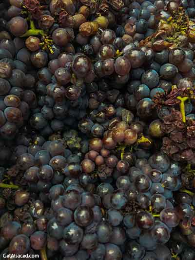 grapes in alsace france