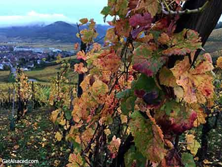 autumn vineyards in alsace france