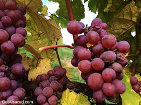 gewurztraminer grapes in the vineyards alsace france