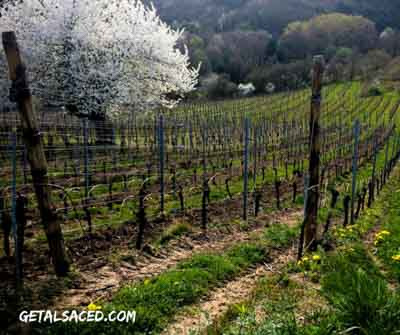 Spring time in Alsace France in the vineyards with flowering cherry trees. GetAlsaced.com