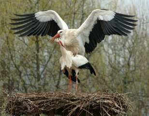 Storks in Alsace