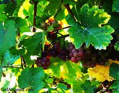 klevener de heiligenstein in the vineyard alsace france