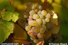 riesling grapes in vineyard alsace france