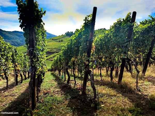 vineyards in alsace france