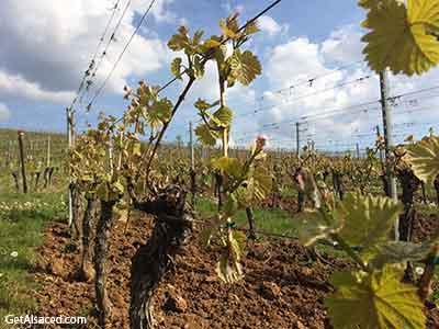 vines in spring in the vineyards in alsace france